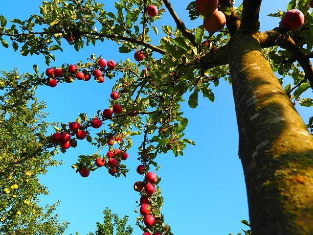 apple-tree-694015_640.jpg
