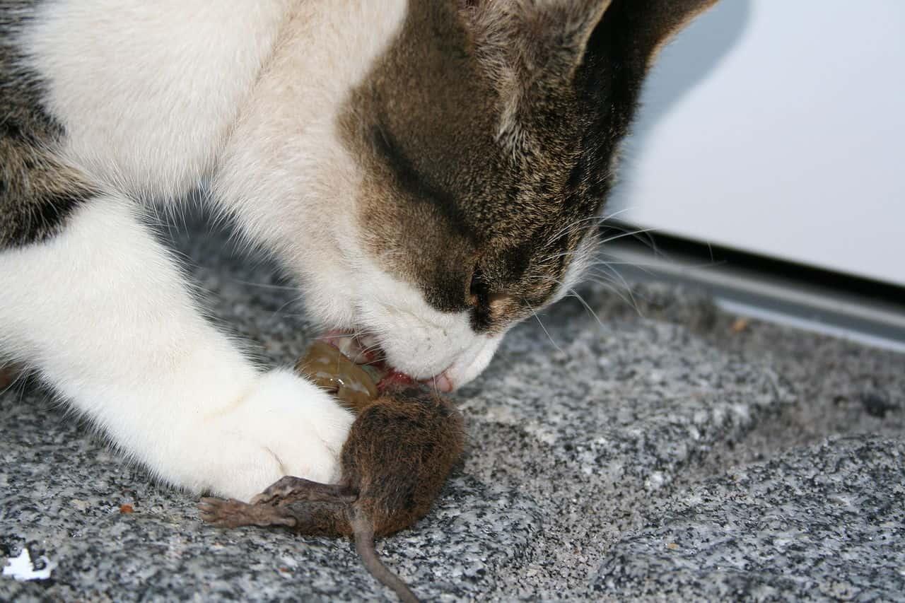 Cat_eating_mouse.jpg