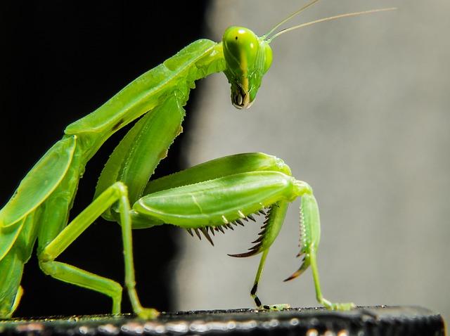 praying-mantis-205169_640.jpg